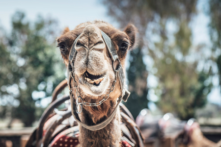 Camel. Selective focus close-up portrait. Standard-Bild