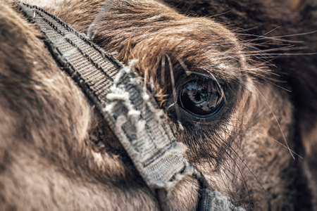 Close-up of a camels eye.