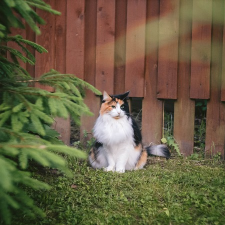 white-red fluffy cat sitting near a burgundy fence