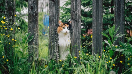 The white-red fluffy cat stuck its muzzle between the boards in the fence