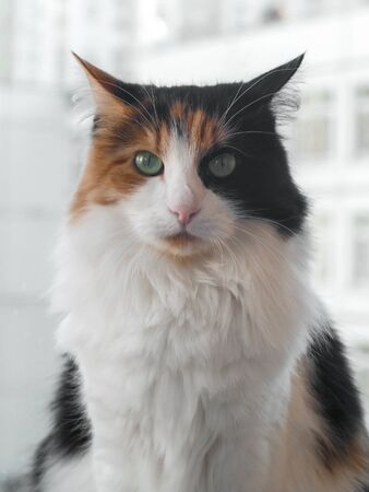 cat in black and orange-white spots looks directly at the camera