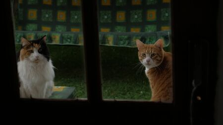 white fluffy cat and red cat looking at the camera through the window