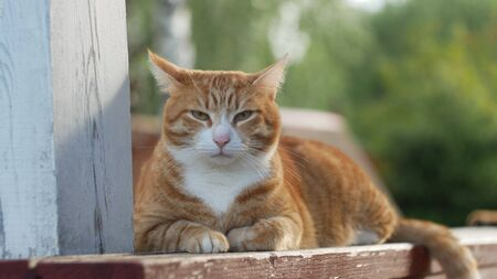 young red cat is looking at the camera while lying on a wooden veranda.