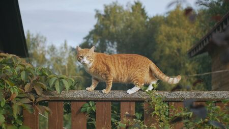 red cat, stands on the fence and look straight.