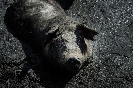 grunter: big pig sitting in the mud
