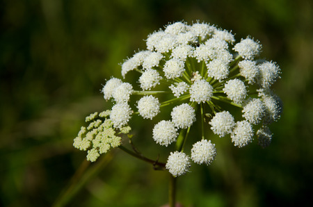 Yarrow close-up with blurred background photo