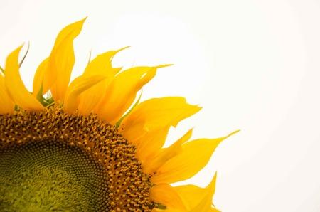 sunflower isolated: unripe yellow sunflower isolated half