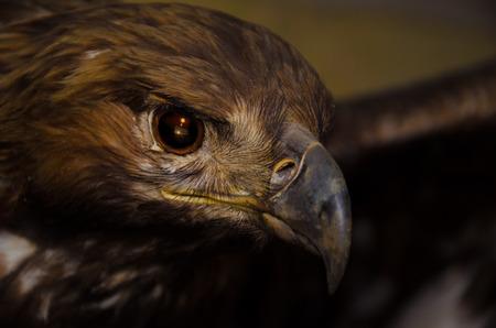 aigle royal: l'aigle royal Banque d'images