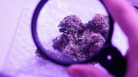 medical buds of marijuana close-up