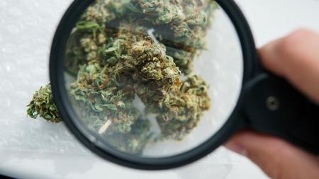 high-quality medical buds of marijuana concept
