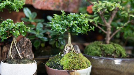bonsai tree collection for sale close-up Imagens