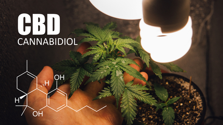 Growing Marijuana in Small Spaces. CBD and THC elements in Cannabis, cannabinoids, and health