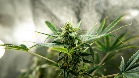 Medical marijuana news in the world.