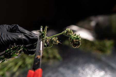 fresh cannabis harvest for medical use. USA marijuana plans