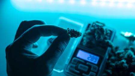 Cannabis buds in super macro view. Medical legal marijuana in 2019