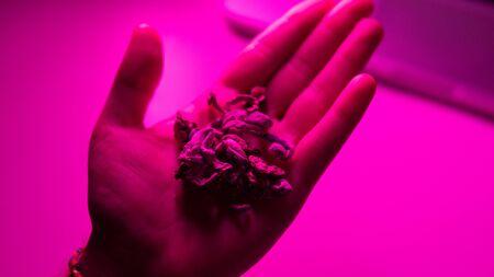 Medical research of psilocybin mushrooms close-up