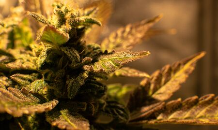 Growing medical marijuana indoor in camera shifting  effect. Big cannabis flowering buds in the close-up. Stock Photo