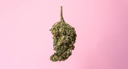 isolated marijuana bud on a pink background.medical marijuana concept for social media