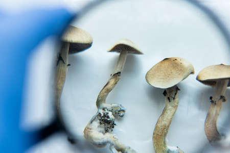 psilocybin mushrooms lying in male hands in blue medical gloves