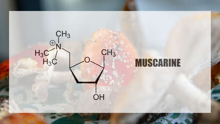 muscarine as one of the psychedelic ingredients in the fly agaric. Psychoactive substances in amani muscaria Banque d'images
