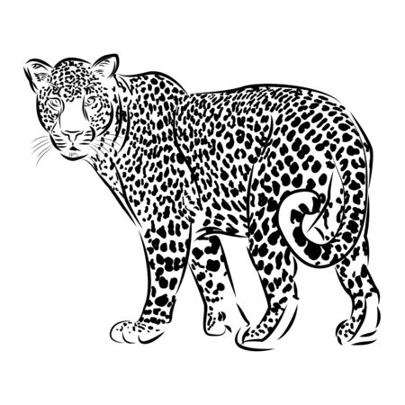 Zoo. African fauna. Puma, leopard, wild cat, coguar, mountain lion. Hand drawn illustration for tattoo design, Engraving of wild animal.