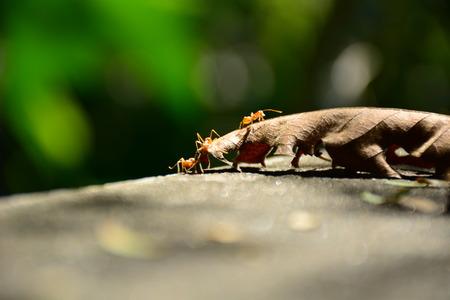 hormiga hoja: , Hoja, el trabajo en equipo de la hormiga