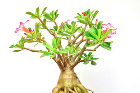 adenium: flower of desert rose and green leaf of desert rose with growing isolated on white
