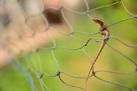 Lizard climb on the net. little lizard so cute.