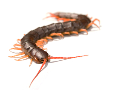 Giant centipede Scolopendra subspinipes isolated on white background.