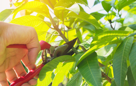 gardener pruning trees with pruning shears on nature background. 版權商用圖片 - 84165697