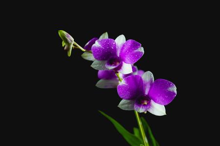 Violet flowers, purple flowers isolated on dark background Stock Photo