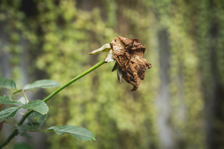 Dried red rose on nature background. Dried dead flowers red rose. sad valentine concept. Stock Photo