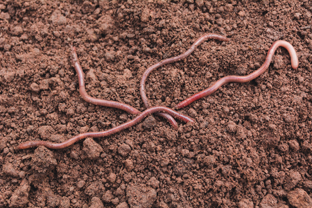 Close up of earth worms in healthy earth.