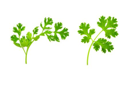 Fresh and green coriander leaves isolation on a white background. Food and healthy concept.