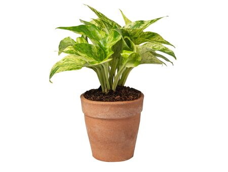 Green potted plant, trees in the cement pot     on white background. Stok Fotoğraf