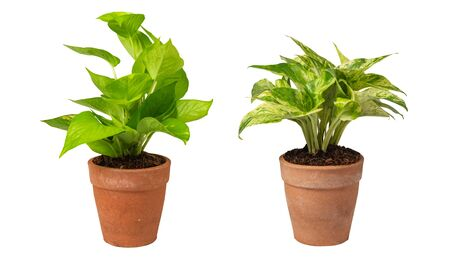 Green potted plant, trees in the cement pot     on white background. 版權商用圖片 - 148587319