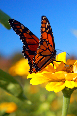 north american butterflies: Butterfly on Flower