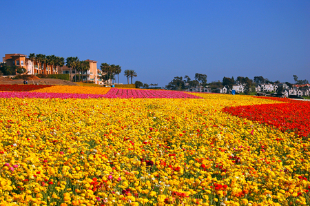 jardines con flores: Blooming Flower Fields at Carlsbad California