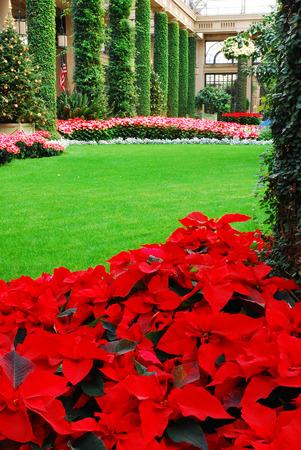 conservatory: Holiday Pointsettias Stock Photo