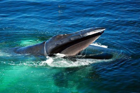 Une baleine à bosse à la recherche de nourriture