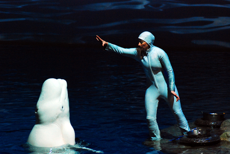 A Trainer Works with a Beluga Whale at the Shedd Aquarium, Chicago