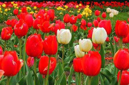 Multi-colored tulips bloom in spring
