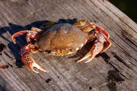 Crab Sunning Itself on a Dock Stockfoto
