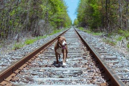 Dog Running on Train Tracks