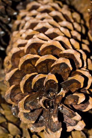 pine cone: Sugar Pine Cone