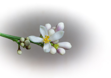 buds: White lemon flower with buds on a white background