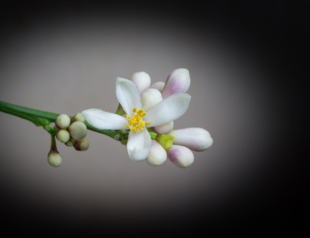 White lemon flower with buds on a black background