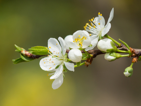 simple life: Spring flowers of plum. Stock Photo