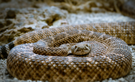serpiente de cascabel: la serpiente de cascabel acurrucado, mirando a la c�mara, primer Foto de archivo