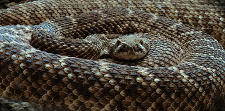 serpiente de cascabel: la serpiente de cascabel acurrucado, mirando a la cámara, primer Foto de archivo